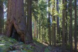 Redwood Meadow - Lodgepole