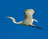 Great Egret (Garza Real).