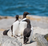 Murres (or Common Guillemots) including bridled murres