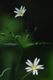 grote muur (stellaria holostea)