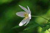 bosanemoon (anemone nemorosa)