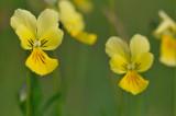 zinkviooltje (viola lutea calaminaria)