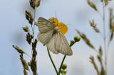 vals witje - divisée - black-veined moth