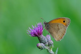 bruin zandoogje - myrtil - meadow brown
