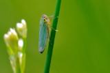 groen rietcicade - ciccadelle verte - green leafhopper
