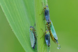 groene rietcicade - ciccadelle verte - green leafhopper
