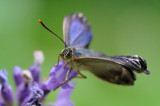 eikenpage - thécla du chêne - purple hearstreak