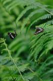 kleine ijsvogelvlinder - petit sylvain - white admiral