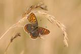 bruine vuurvlinder - cuivré fuligineux - sooty copper