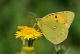 oranje luzernevlinder - souci - clouded yellow