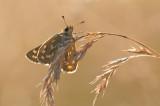 kommavlinder - virgule - silver-spotted skipper