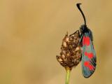 sint-jansvlinder - zygène de la filipendule - six-spot burnet