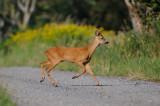 ree - chevreuil - roe deer