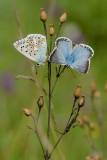 bleek blauwtje - bleu nacré - chalk-hill blue