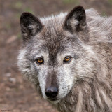 They Call Me Grey Wolf
