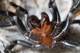 Sydney Funnel Web