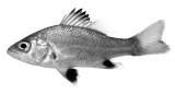 Juvenile Australian Bass (Macquaria novemaculeata)