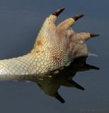 croc foot