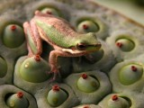 Dwarf green tree frog