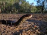 black whip snake