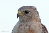 Red-shouldered Hawk-100crop