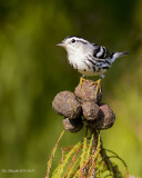 Black and White Warbler,female