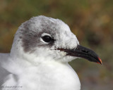 Laughing Gull ,nonbreeding