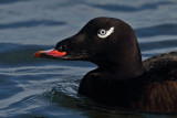 White-winged Scoter head image