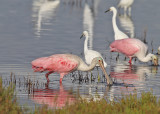 Spoonbills, Merritt Island, Titusville, Florida