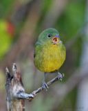 painted Bunting,female