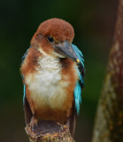 white_thorated_kingfisher