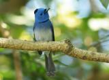 black-naped_blue_monarch