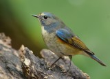 red_flanked_blue_tail_2014