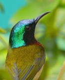 fork-tailed_sunbird_2014