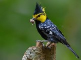 yellow_chested_tit_2014