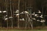 cranes_of_diepholz