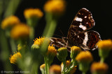 Map butterfly (Araschnia levana)