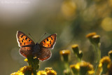 Small copper (Lycaena phlaeas)