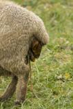 La naissance d'un agneau