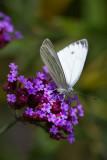 les papillons des champs