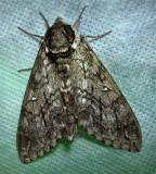 Ceratomia undulosa – 7787 - Waved Sphinx Moth