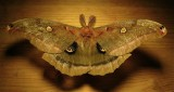 Antheraea polyphemus - 7757 - Polyphemus