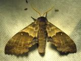 Pachysphinx modesta-7828 - Big Poplar Sphinx