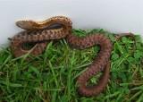 Maritime Garter Snake - Thamnophis sirtalis pallidulus
