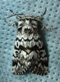 Panthea acronyctoides - 9177 - Black Zigzag