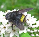 Parasitic Flies -- Tachinidae