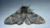 Biston betularia - 6640 - Peppered Moth