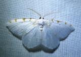 Speranza pustularia-6273 - Lesser Maple Spanworm Moth