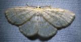 Scopula fridgidaria - 7166 - Frigid Wave Moth