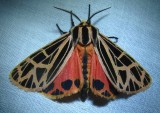 Grammia parthenice - 8196 - Parthenice Tiger Moth